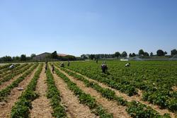 Erdbeerfeld